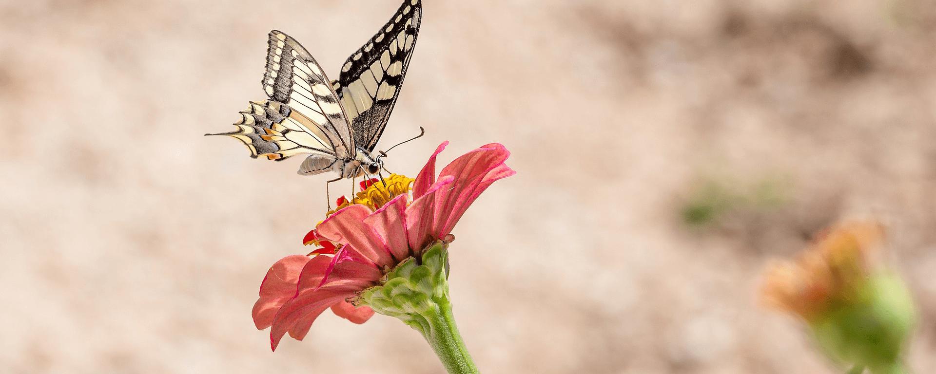 flower-buttefly